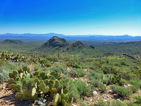 Prickly Pear cacti grows in large stands near Bell Pass
